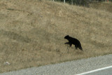Black Bear   Along the Alaskan Hwy in British Columbia, Canada
