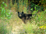 Black Bear  Along Hwy 37  British Columbia, Canada