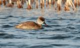 Rödhuvad dykand - Red-crested pochard (Netta rufina)