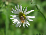 Oxeye Daisy, August 2009