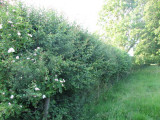 Orchard hedge, summer 2009