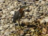Green herons - GALLERY