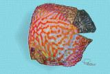 Manipulation of an Aquarium Fish