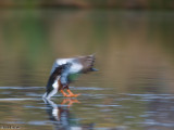 duck skidding in for a water landing