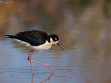 black necked stilt