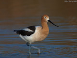 Avocets and Stilts
