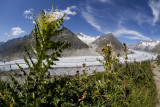 Thistles at the Aletsch.
