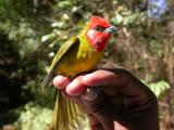 West Mexico 2008 Bird Banding