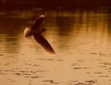 Dvärgmås [Little Gull] (IMG_9720)