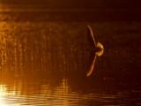 Dvärgmås [Little Gull] (IMG_9762)