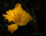 Golden Daylily