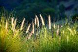 Baraba Golden Grasses