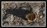 Red Admiral in the evening sun.