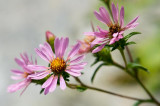 Pink Aster 1