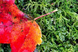 Red Leaf on Moss