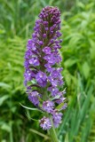 Small Purple Fringed Orchid 1