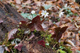 Sharp-lobed Hepatica 1