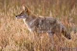 0001-Coyote-02.jpg