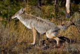 0001-Coyote-03.jpg