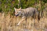 0001-Coyote-04.jpg