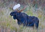 0001-Moose-01.jpg