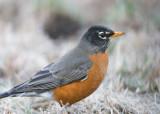 004-Robin.jpg