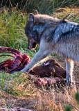 Wolf-Virgina-Cascades-Kill.jpg