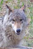 0013-Wolf.jpg