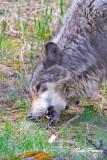 0014-Wolf.jpg