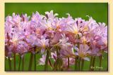 Day-Lillies.jpg
