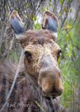 0001-Moose.jpg