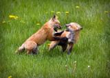 0008-Fox.jpg