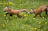 0011-Fox.jpg