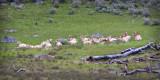 0013-Sheep.jpg