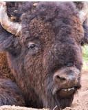 0017-Bison.jpg
