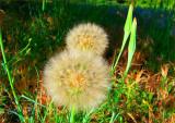 Puff Balls under Walnut Sky