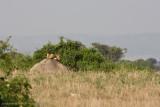 Uganda Lion-16.jpg