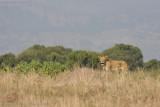 Uganda Lion-45.jpg
