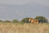 Uganda Lion-70.jpg