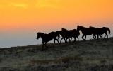 Mustangs in the Haze