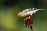 Chardonneret Jaune -- American Goldfinch