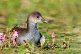 Gallinule poule d'eau -- Common Moorhen