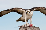 Balbuzard Pêcheur -- Osprey