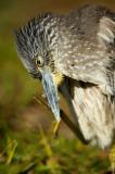 Bihoreau violacé, juvénile  -- Yellow-crowned Night Heron, juvenile