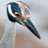 Bihoreau violacé -- Yellow-crowned Night Heron