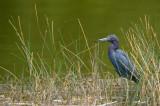 Aigrette bleue -- Little Blue Heron