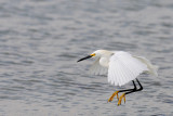 Aigrette neigeuse -- Snowy Egret