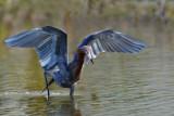 Aigrette roussâtre -- Reddish Egret