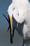 Grande aigrette -- Great Egret