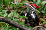 Grand-Pic -- Pileated Woodpecker